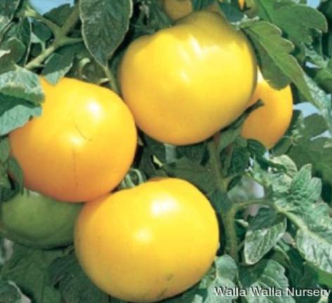 tomato lemon boy pack bremerton city nursery bremerton city nursery